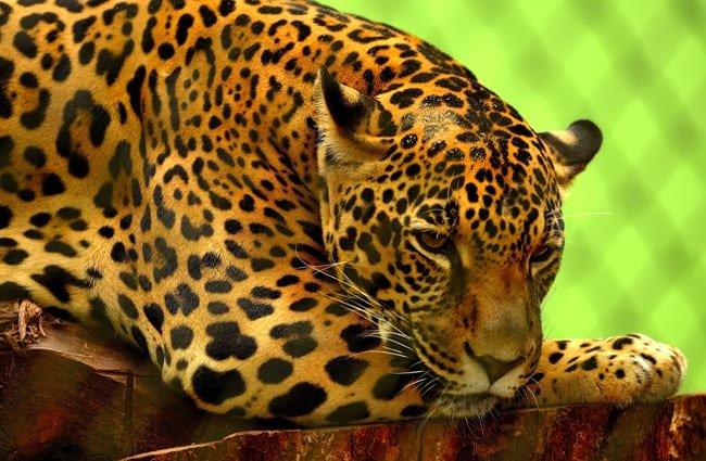 jaguar from uruguay