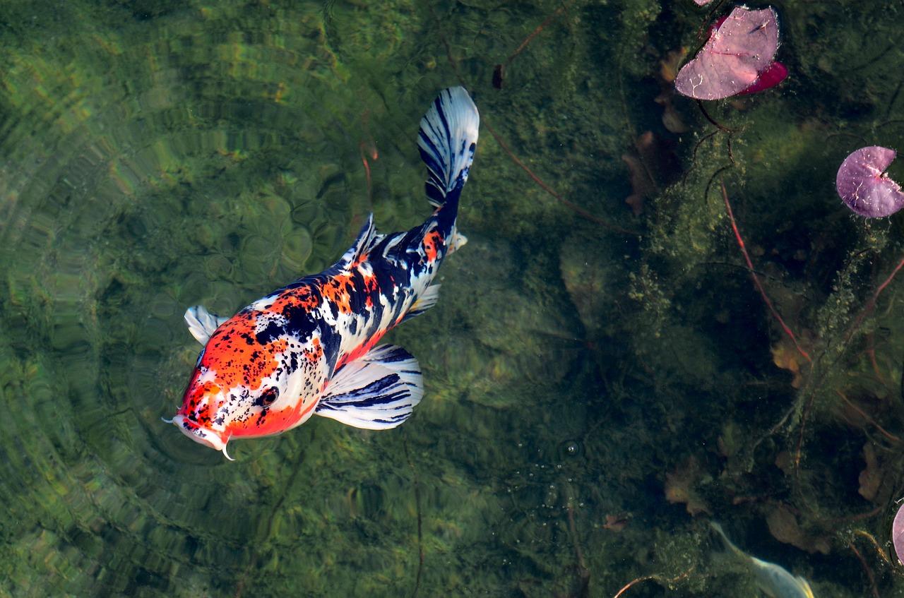 Cepat Panen, Yuk Intip Cara Budidaya Ikan Koi di Kolam Terpal