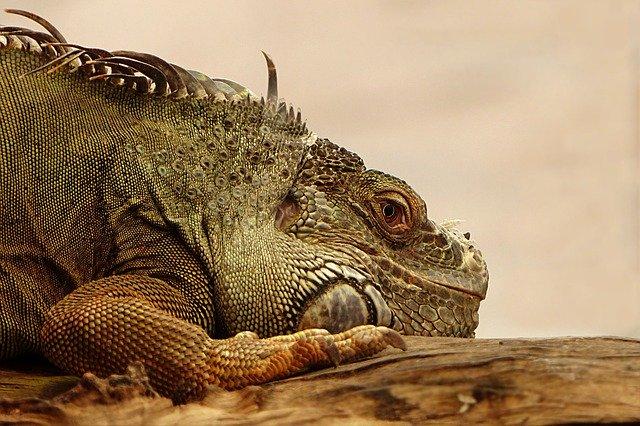 Jenis Iguana Super Red Yang Terkenal