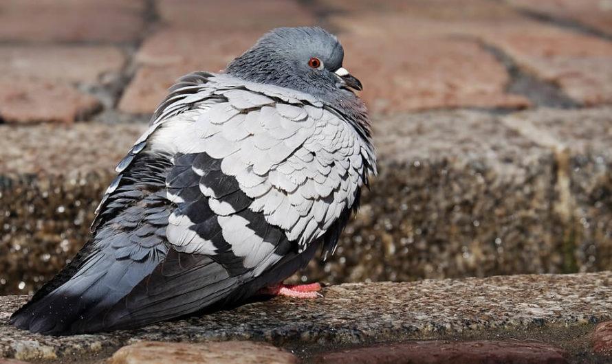 Cara Menyanggankan Burung Dara