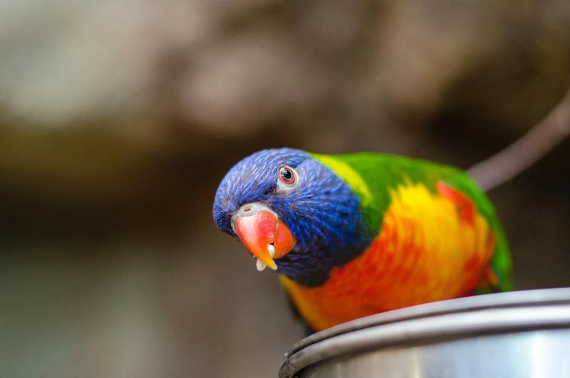 Harga Burung Beo Kalimantan Dan Cara Merawatnya
