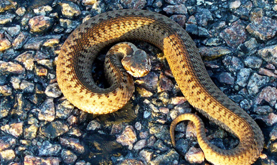Just how to Take care of a Central United States Boa